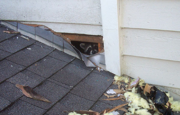 raccoon-roof-damage-Toronot-Roofing
